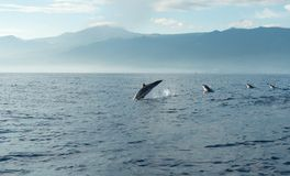 Dolphins in Pacific Ocean Stock Photos