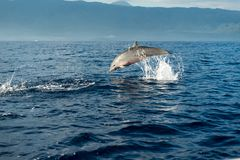 Dolphins in Pacific Ocean Royalty Free Stock Photo