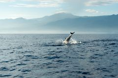Dolphins in Pacific Ocean Royalty Free Stock Photos
