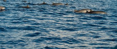 Dolphins in Pacific Ocean Stock Image