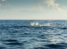 Dolphins in Pacific Ocean Royalty Free Stock Photography