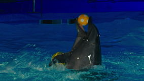 Dolphins perform at the Dolphinarium.  stock video