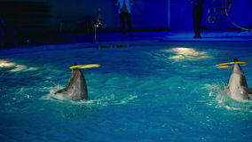 Dolphins perform at the Dolphinarium.  stock footage