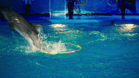 Dolphins perform at the Dolphinarium.  stock video footage