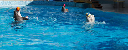 Dolphins play balls. Two dolphins and Beluga whales play balls royalty free stock photography