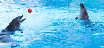 Dolphins play balls Royalty Free Stock Photography