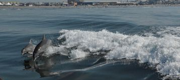 Dolphins at Play. Dolphins frolicking in the surf Royalty Free Stock Photography