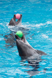 Dolphins play in pool Stock Images