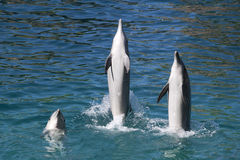 Dolphins at play Royalty Free Stock Photography