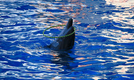 Dolphins. A playful dolphin jumping out of the pool with sea water and smiling Stock Images