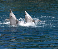 Dolphins playing. Two dolphins swimming and  playing in blue water Royalty Free Stock Photo