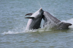 Dolphins playing. Two dolphins jumping and playing in the gulf Stock Photos