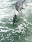 Dolphins playing Stock Images