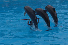 Dolphins playing. Tenerife, Spain Stock Image