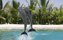 Dolphins Playing. Two dolphins jumping out of water Stock Photo