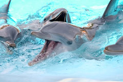 Beautiful dolphins playing in aquarium Stock Image