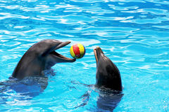 Dolphins playing ball. Dolphins enjoy playing ball together Stock Images
