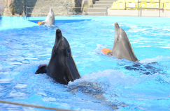 Dolphins playing in dolphinarium. Stock Photo
