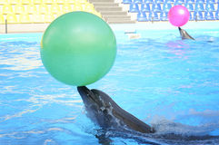 Dolphins playing in dolphinarium. Two dolphins playing with balls in dolphinarium Stock Image