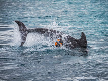 Dolphins playing with a football nd splashing Royalty Free Stock Photo