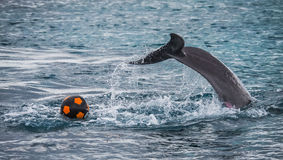 Dolphins playing with a football nd splashing Royalty Free Stock Images