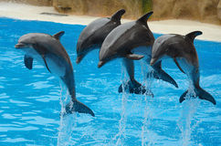 Dolphins playing in the pool. Royalty Free Stock Image