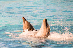 Dolphins playing and swimming in a pool. Stock Images
