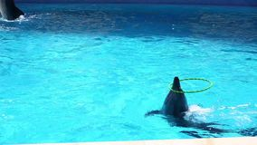 Dolphins playing. Two dolphins playing with rings in dolphinarium stock footage