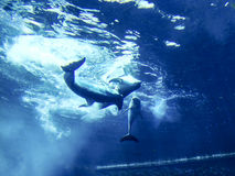 Dolphins. Playing underwater in Genoa Aquarium Royalty Free Stock Photo