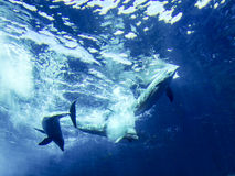 Dolphins. Playing underwater in Genoa Aquarium Stock Photography
