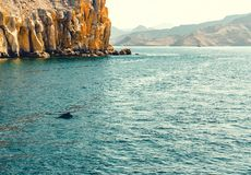 Dolphins playing in the water of the Gulf of Oman stock photos