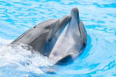Dolphins playing in water park, performance, show Royalty Free Stock Photography