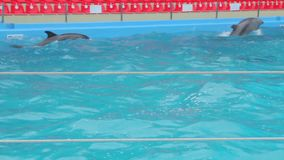 A Dolphins In The Pool stock footage