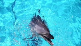 Dolphins in the pool. stock footage
