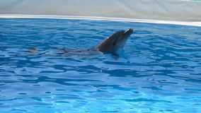Dolphins in the pool preparing for show royalty free stock photo