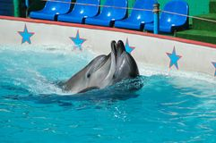 Dolphins in pool. The dolphins in water pool Stock Photos
