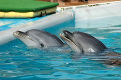 Dolphins in pool. The dolphins in water pool Royalty Free Stock Photography