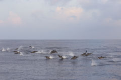 Dolphins are pursuing a flock of fish at sunset. Stock Photos