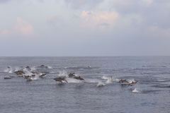 Dolphins are pursuing a flock of fish at sunset. Stock Images