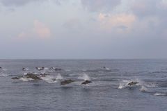 Dolphins are pursuing a flock of fish at sunset. Stock Image