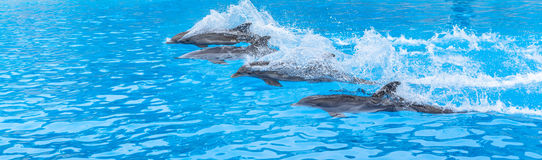 Dolphins Race Royalty Free Stock Images