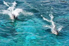 Dolphins Racing. Two Bottlenose dolphins racing in the blue water Stock Photography