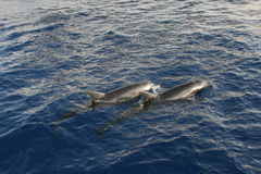 Dolphins in Red Sea stock images