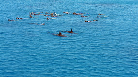 Dolphins in the red sea. A boat trip into red sea of egypt Royalty Free Stock Photos