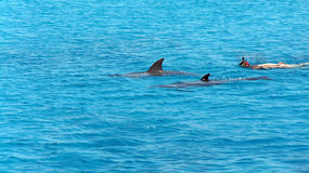 Dolphins in the red sea Royalty Free Stock Photo