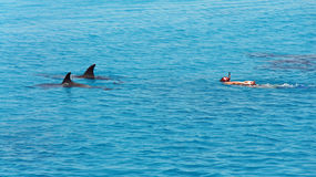 Dolphins in the red sea. A boat trip into red sea of egypt Stock Photos