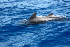 Dolphins in sea. Two dolphins in blue sea Royalty Free Stock Photo