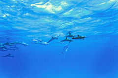 Dolphins in the sea Royalty Free Stock Photography