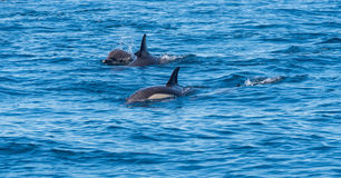 The dolphins in the sea Stock Photo