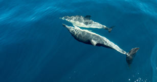 The dolphins in the sea Royalty Free Stock Image